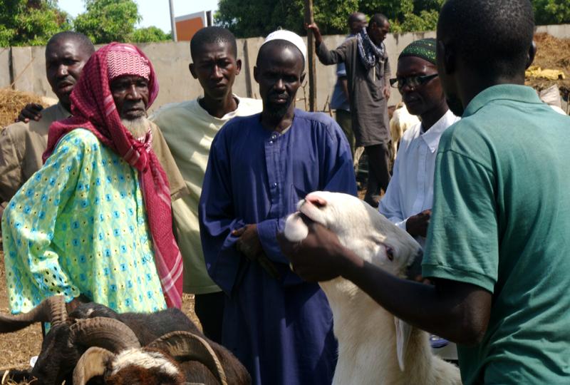 Mercado de ganado en Gambia